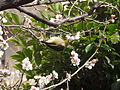 ウグイス(鶯)(Cettia diphone)-01 (6058079126).jpg