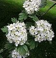 山楂屬 Crataegus x bornmuelleri -哥本哈根大學植物園 Copenhagen University Botanical Garden- (36121245504).jpg