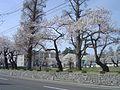 春の横高.JPG