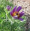 歐洲銀蓮花 Anemone pulsatilla (Pulsatilla vulgaris) -比利時國家植物園 Belgium National Botanic Garden- (9200909590).jpg