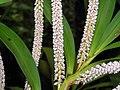 毛蘭屬 Eria floribunda -新加坡植物園 Singapore Botanic Gardens- (9226994743).jpg