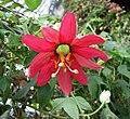 西番蓮屬 Passiflora manicata -新加坡濱海灣花園 Gardens by the Bay, Singapore- (24952708991).jpg