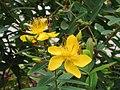 金絲桃 Hypericum chinensis -香港動植物公園 Hong Kong Botanical Garden- (9216112194).jpg