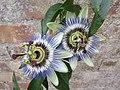 -2019-09-05 Passionflower (Passiflora incarnata), Trimingham.JPG