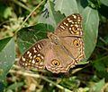 .Lemon Pansy. Junonia lemonias.. Nymphalidae - Flickr - gailhampshire.jpg