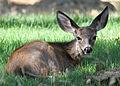 021412 blacktail deer fawn wray odfw (6918319219).jpg