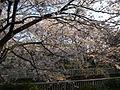022 (5)Sakura.JPG