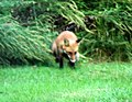 039 Red Fox (8057816910).jpg