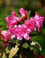 0 Rhododendron hirsutum - Samoëns (1).JPG