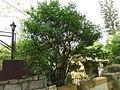 1-Murraya paniculata 02.JPG