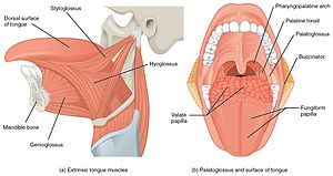 1109 Muscles that Move the Tongue.jpg