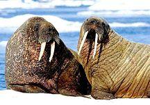 Isla de Wrangel-Geografía-12 Walross 2001