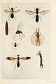 15-Indian-Insect-Life - Harold Maxwell-Lefroy - Simuliidae-and-Stratiomyiidae.jpg