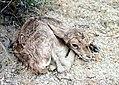 1989-Djeiran-Goitered-gazelle.jpg