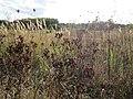 20120922Hypericum perforatum4.jpg