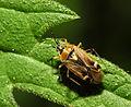2013-06-04 15-58-24-Hemiptera.JPG