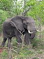 2014-11-23 065 Elefant (Elephantidae) anagoria.JPG