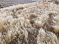 2014-12-17 13 45 34 Rime from freezing fog on cheat grass in Elko, Nevada.JPG