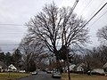 2014-12-28 11 44 52 Pin Oak on Terrace Boulevard in Ewing, New Jersey.JPG