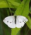 2015.07.11.-01-Mulde Eilenburg--Gruenaderweissling-Weibchen.jpg