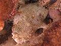 2015 01 Koh Lanta 39 hiding frogfish (16402443577).jpg