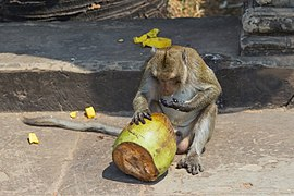 2016 Angkor, Angkor Wat, Grobla do Angkor Wat, Małpa (07).jpg