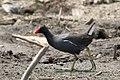 20170619 4046 Naivasha Gallinule poule-d'eau.jpg