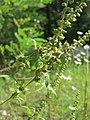 20170917Ambrosia artemisiifolia2.jpg