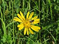 2018-05-13 (149) Tragopogon pratensis (Jack-go-to-bed-at-noon) with Insect at Bichlhäusl in Frankenfels, Austria.jpg