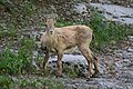 2018-06 Réserve naturelle nationale de Sixt-Passy - Alpine ibex 01.jpg