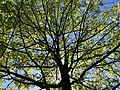2019-04-27 16 30 27 View up into the canopy of a Pin Oak leafing out in mid-Spring within Franklin Farm Park in the Franklin Farm section of Oak Hill, Fairfax County, Virginia.jpg