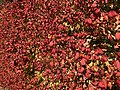 2019-11-26 12 45 43 The exterior of a Euonymus during late autumn along a walking path in the Franklin Glen section of Chantilly, Fairfax County, Virginia.jpg