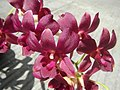 3905Orchids in the Philippines 05.jpg