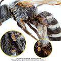 4-Parapygmephorus Anoetus Halictus frontalis BMOC 96-0916-134.jpg