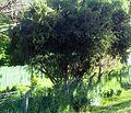 7 Gymnosporia heterophylla - Newlands Cape Town.jpg