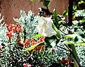 A@a Kyproulas garden44 Askas Cyprus - panoramio.jpg