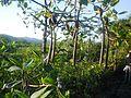 APA Guaraqueçaba - Frutti di mangrovia.JPG