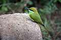 A Green Bee eater in Gujarat India.jpg