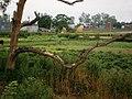 A Tree near Ludhiana.jpg