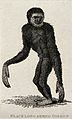A black long-armed gibbon. Etching. Wellcome V0021248ER.jpg