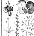 A botanical arrangement of British plants; including the uses of each species, in medicine, diet, rural oeconomy and the arts Fleuron T144691-24.png
