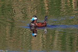 A morning near Strawberry Hill.Ruddy Duck (Oxyura jamaicensis). (18563653684).jpg