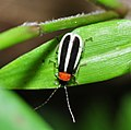 A soldier beetle (Cantharidae) (9527623811).jpg