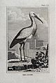 A stork. Etching with engraving. Wellcome V0022239EL.jpg