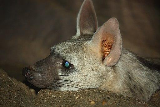 Aardwolf ProtelesCristatus57