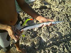 Ablennes hians - flat needlefish - caught in the Bay of Pigs - Cuba.jpg