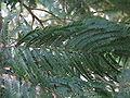 Acacia mearnsii1.jpg
