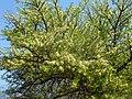 Acacia robusta, in blom, Kameeldrift, a.jpg