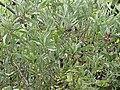 Acacia verticillata2.jpg
