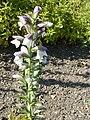 Acanthus hungaticus (Acanthaceae) plant.JPG